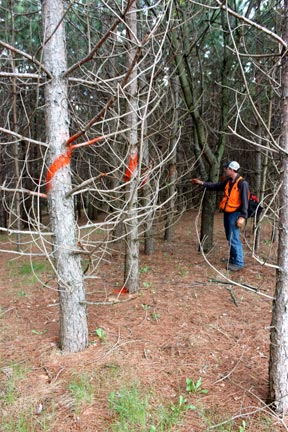 pete-spraying-pine-trees-to-be-cut