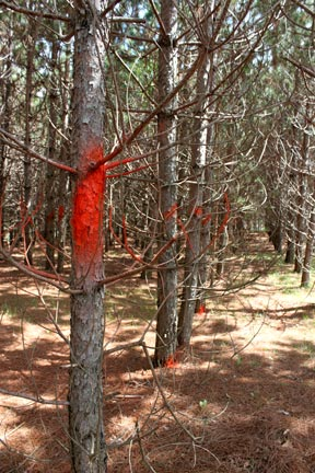 orange-paint-on-line-of-pine-trees-to-thin