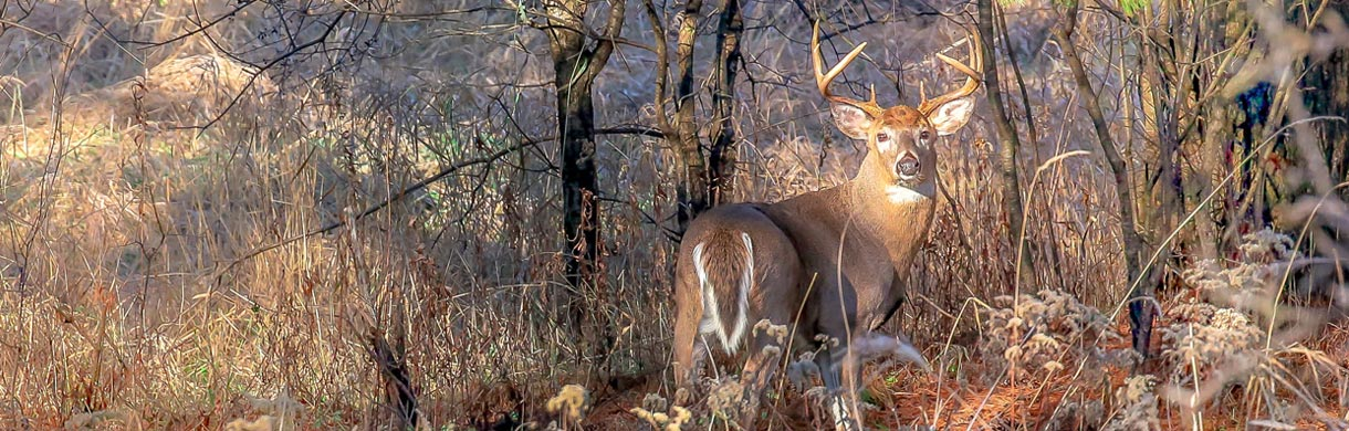 whitetail-buck-looking-over-shoulder-in-forest