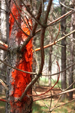 orange-paint-on-pine-tree-for-logging